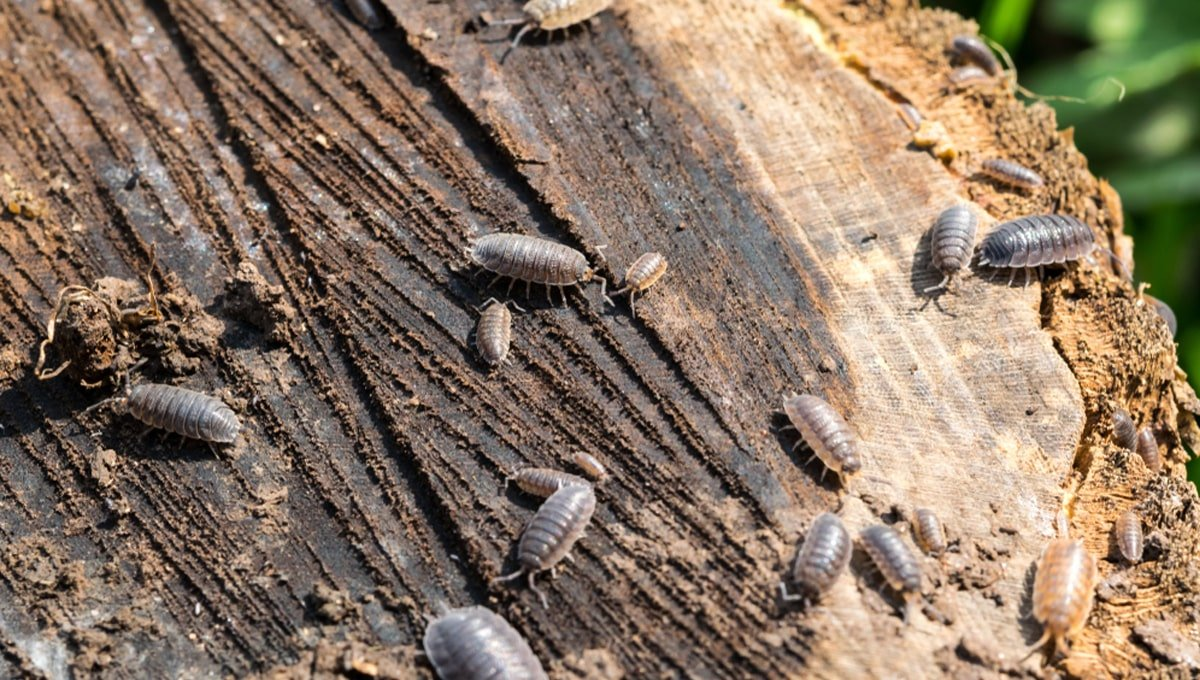 How to get rid of Woodlice - DIY Pest Control UK