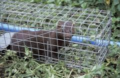 mink caught in trap