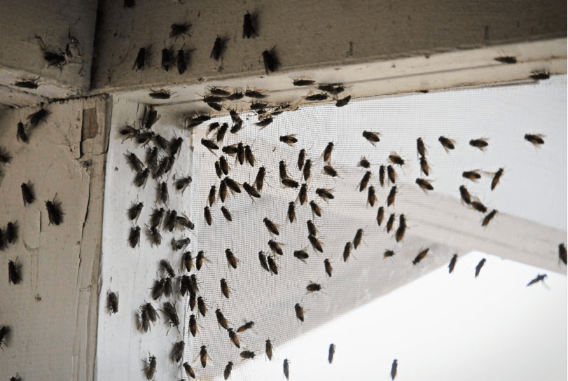 Cluster fly infestation in the home