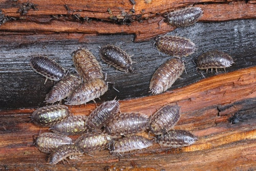 woodlice crawling on rotten wood bark