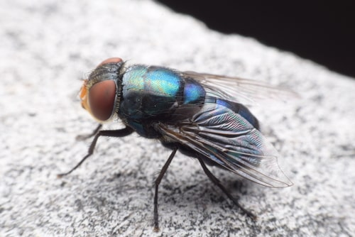Closeup of a cluster fly