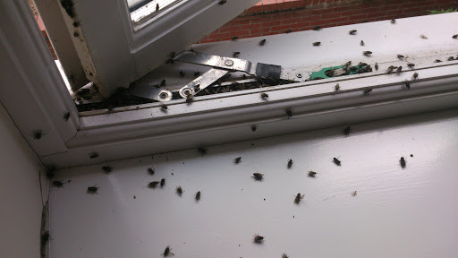 Cluster flies entering through window frames