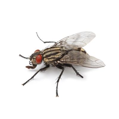 Cluster Fly Killer