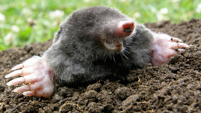 mole emerging from ground