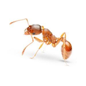Pharaoh Ant Killer Products