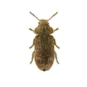 Woodworm Beetle Killer Products